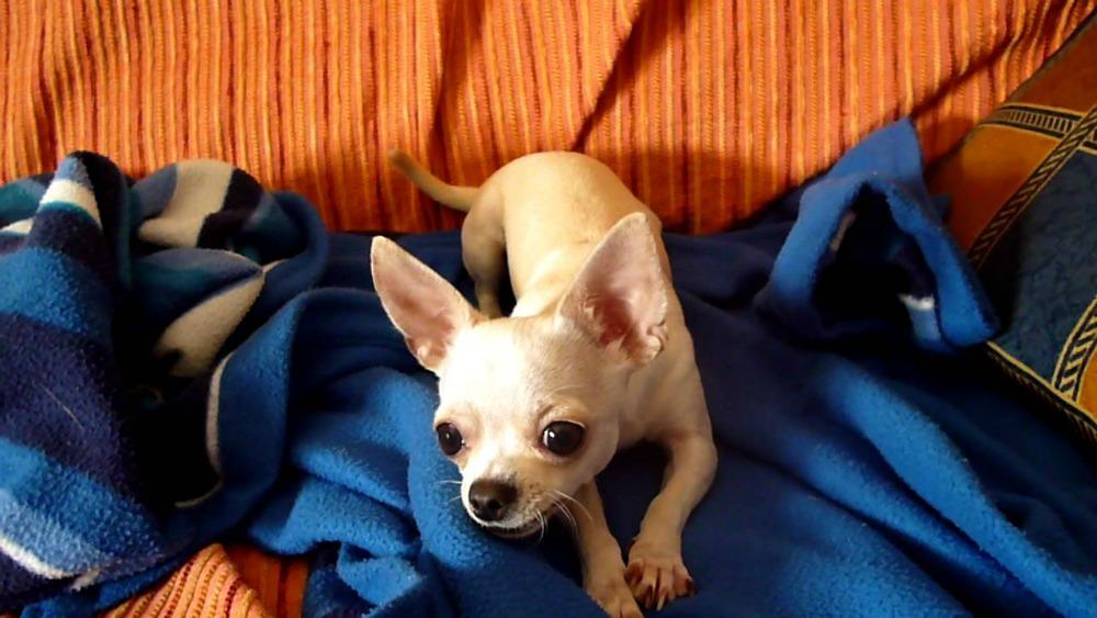 Qualche piccolo consiglio per far sì che il vostro Chihuahua impari ad ascoltare i comandi