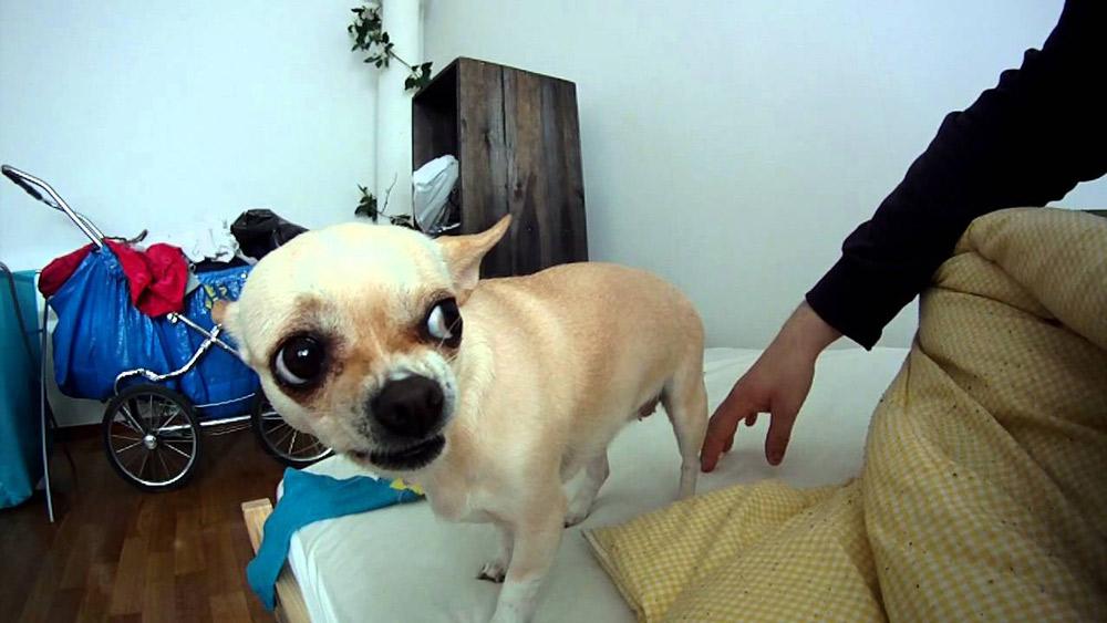Il Chihuahua ha un carattere variabile, che dipende dai geni famigliari ma anche da come viene educato