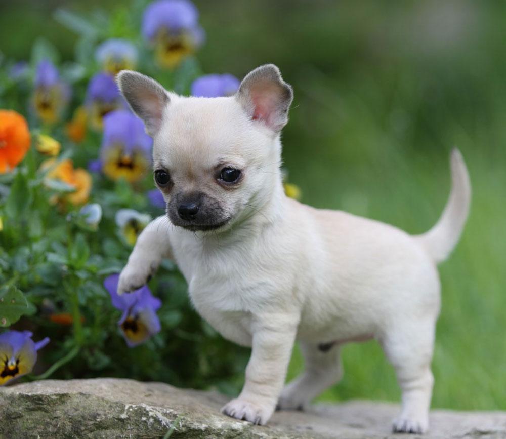 insegnamo al nostro Chihuahua a comportarsi bene a tavola, non elemosinando il cibo e aspettando con pazienza il suo turno