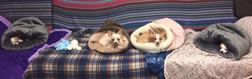 I nostri Chihuahua sono freddolosi e hanno bisogno di essere ben coperti durante le stagioni fredde...vediamo come