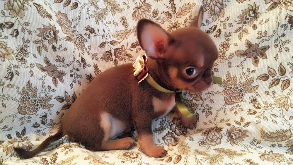 Insegniamo al nostro Chihuahua a non fare i bisogni in casa