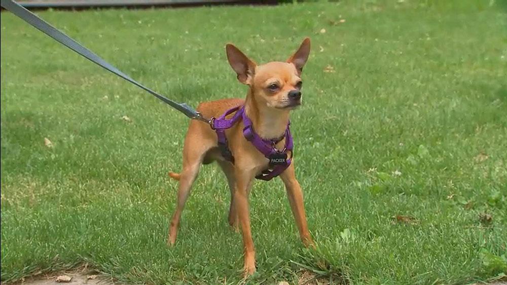 È bene iniziare l'addestramento quando il nostro Chihuahua è ancora piccolo, ma senza esagerare