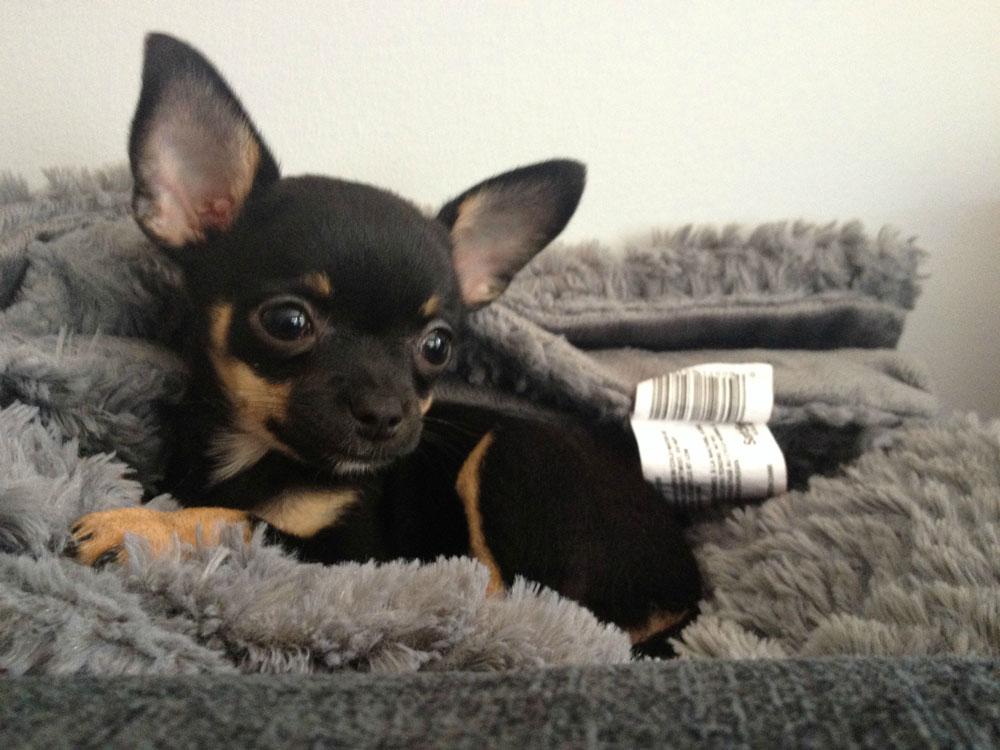 Perchè il mio Chihuahua trema? Freddo, emozione o paura?