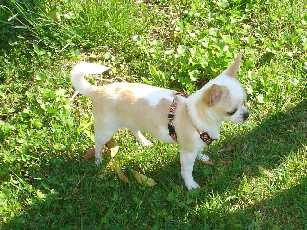 All'inizio il cucciolo è sempre più indisciplinato, soprattutto durante la passeggiata. Ecco come portarlo al guinzaglio