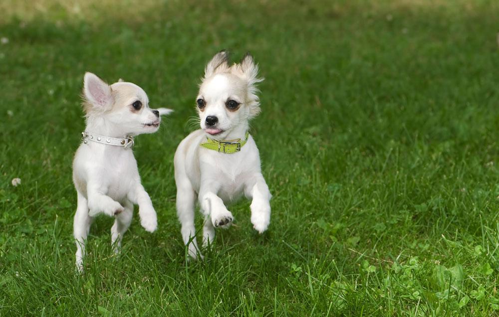 È bene che il nostro Chihuahua impari a socializzare con gli altri