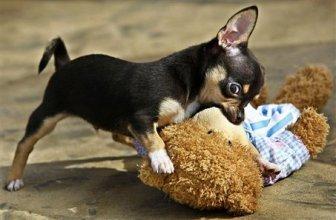 Attack Chihuahua
