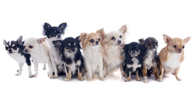 Il nostro Chihuahua è un animale sociale: ha bisogno soprattutto di far parte di un gruppo